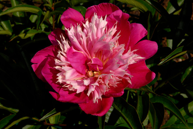 Peony traditional landscape