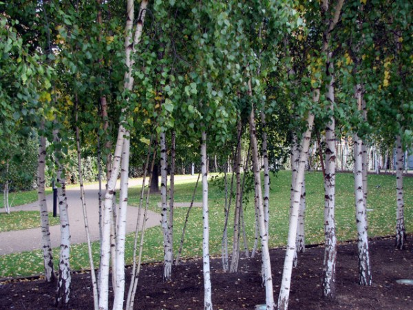 birch trees - modern landscape