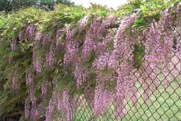 pink japanese wisteria - landscape