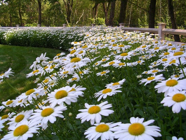 tete a chair outdoor target toddler chairs shasta daisy border traditional-landscape