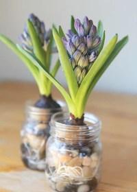 Blumenzwiebeln im Glas ziehen und verschenken