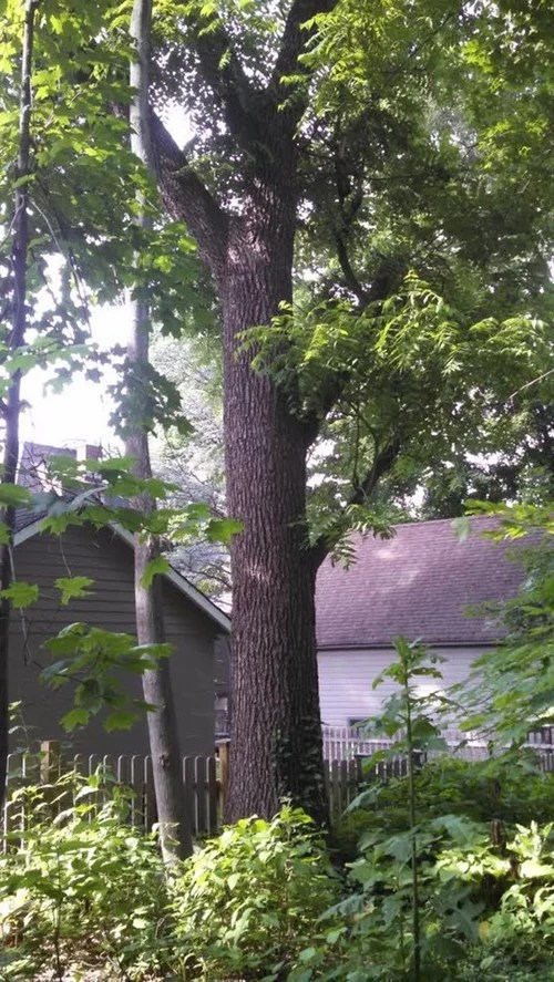 How Much Is A Black Walnut Tree Worth
