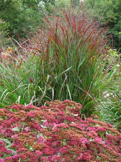 great design plant 'shenandoah'