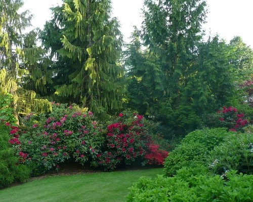 evergreen screening shrubs