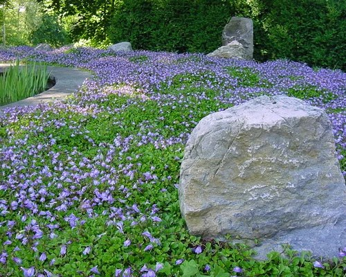 flowering ground cover home design