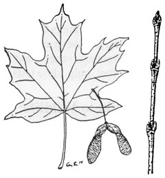 What kind of maple is this...?