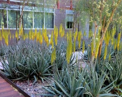 Aloe Vera Landscape Houzz