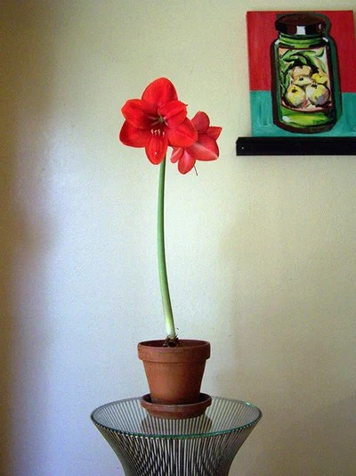 Have a Blooming Winter How to Force Amaryllis Bulbs Indoors