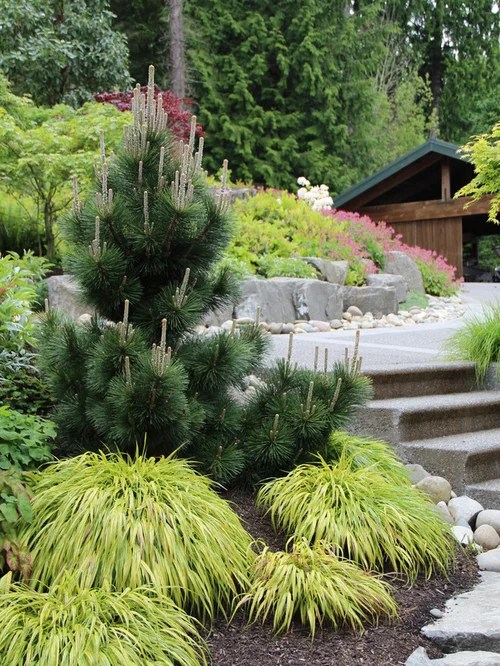conifers landscaping