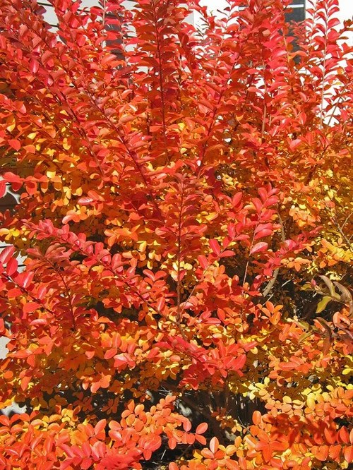 The Fall Colors of Crape Myrtles