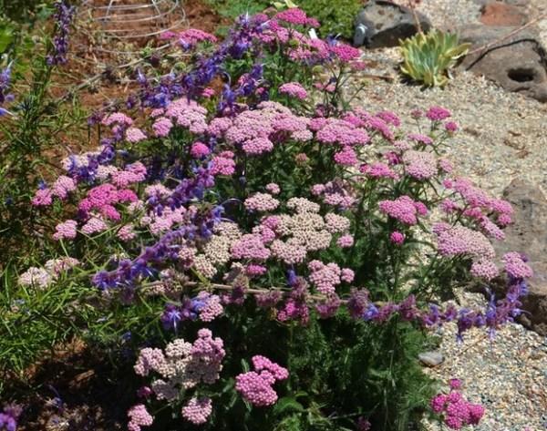 great design plant achillea millefolium
