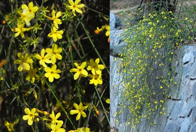 Giardino Winter jasmine (Jasminum nudiflorum)