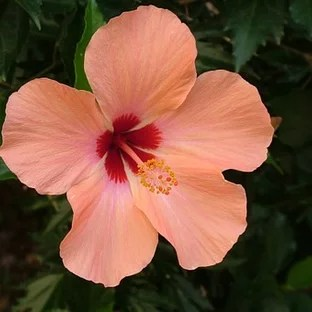 hibiscus landscaping ideas
