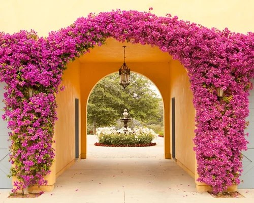 Image result for bougainvillea