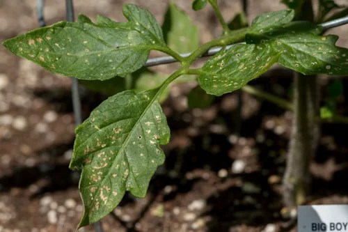 Tomato Plant Leaf Issues Maybe Sunburn or Disease