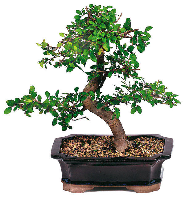 All Products Home Decor Decorative Accents Plants Pots Fountains Live Plants Chinese Elm Bonsai Tree Asian Plants