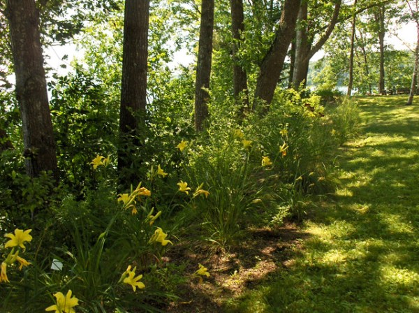 pale daylilies and shade tolerant