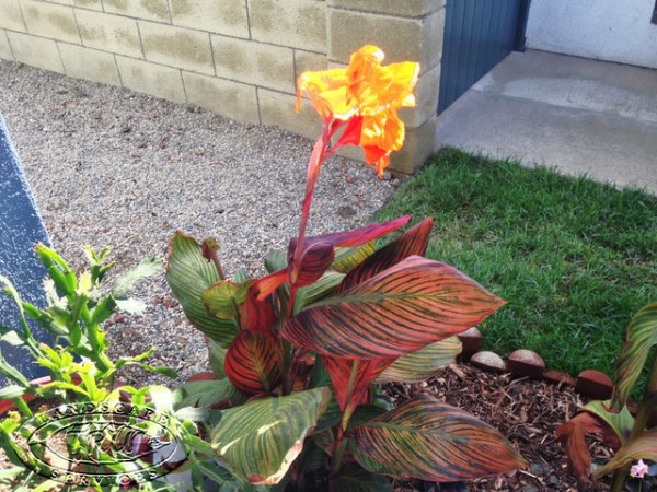 canna lily - tropical plant