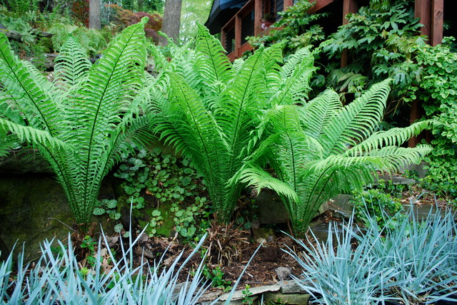 Ferns A Shade Gardener's Best Friend