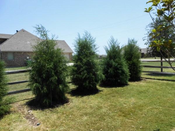 row of eastern red cedar trees