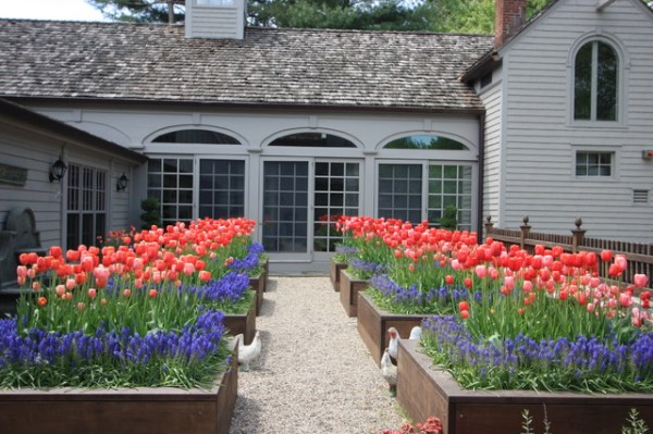 tulips in planting beds - traditional