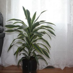 Sofas With Storage Under How To Decorate A Dark Brown Leather Sofa What Wrong My Dracaena Deremensis