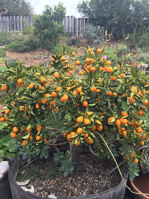 Kumquat tree with curled leaves but lots of fruit