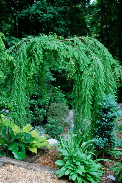 theater chairs rooms to go evacuation chair rental the weepers and creepers: 10 intriguing trees for your garden