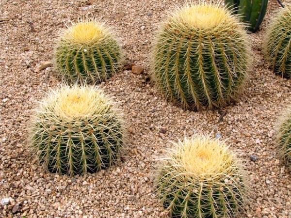 golden barrel cactus - landscape