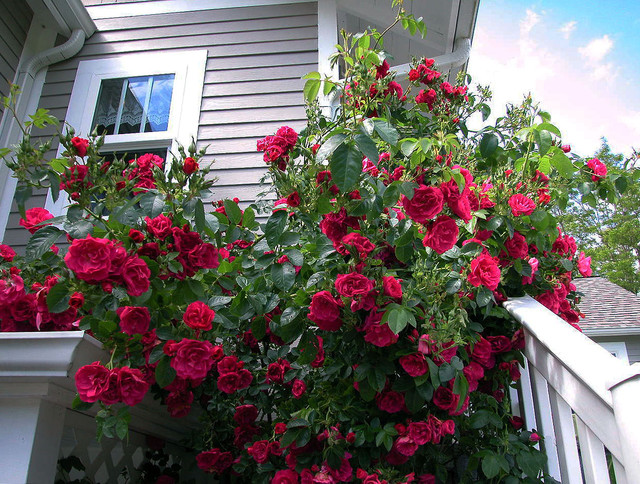 Climbing Rose  Traditional  Landscape  Seattle
