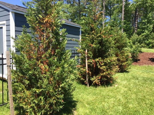 kitchen remodeling virginia beach electric grinder are my leyland cypress trees dead yet?