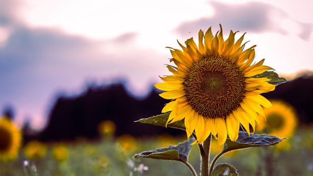 Sunflower Hd Wallpaper 1080p Tổng Hợp H 236 Nh Nền H 236 Nh ảnh Hoa Hướng Dương đẹp