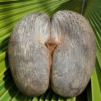 Coco de Mer, loại dừa lớn và đắt nhất thế giới