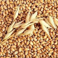 Hạt bo bo là hạt gì?