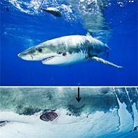 Những vết sẹo đáng sợ trên cơ thể cá mập trắng do mực khổng lồ tấn công