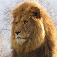Những sự thật gây sốc về loài sư tử mà bạn không ngờ tới
