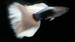 Как различить пол рыб
