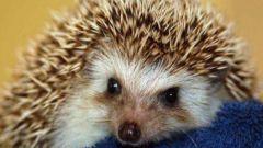 Kung paano panatilihin ang hedgehog