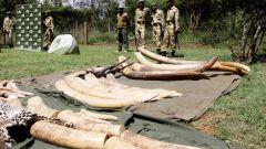 Perché 50 tonnellate di avorio accumulate nello Zimbabwe