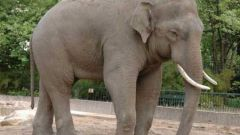 Qual è la differenza tra l'elefante indiano dall'Africa