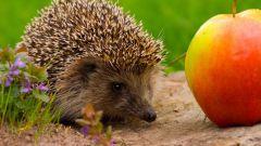Hedgehog Nilalaman sa bahay