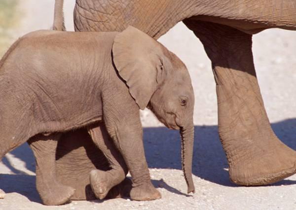 Mentre gli elefanti si moltiplicano