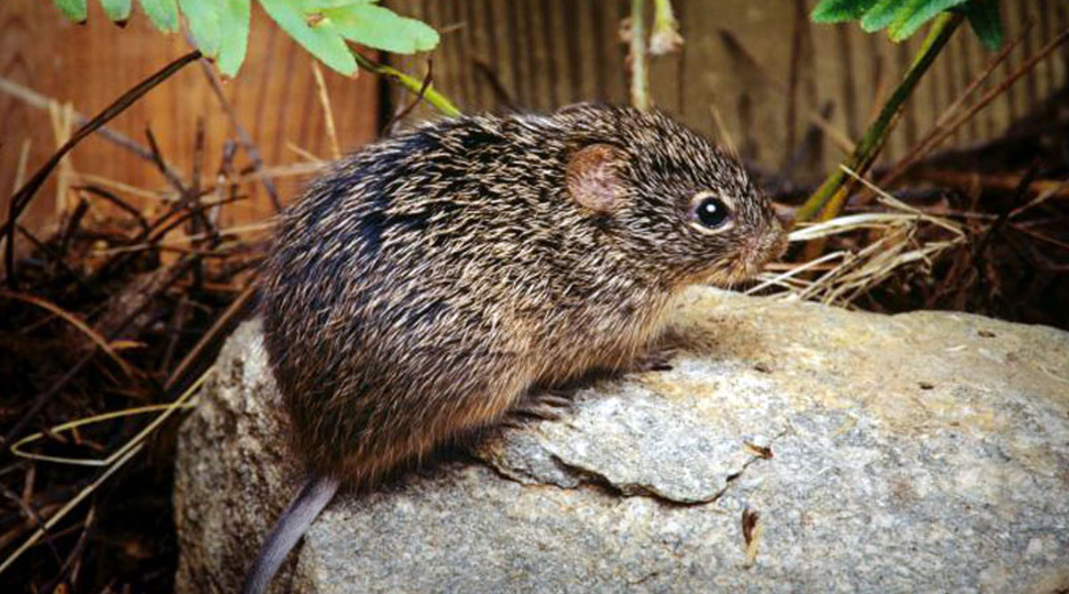 Hantavirus: News of Person Dying Due to Another Virus in China ...