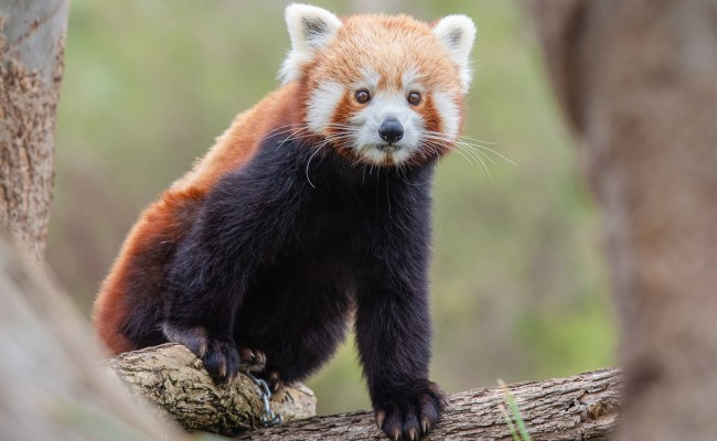 International Red Panda Day 2020 Date History And