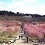 三重県いなべ市の梅林公園の梅を見に行こう!見ごろや混雑状況は?