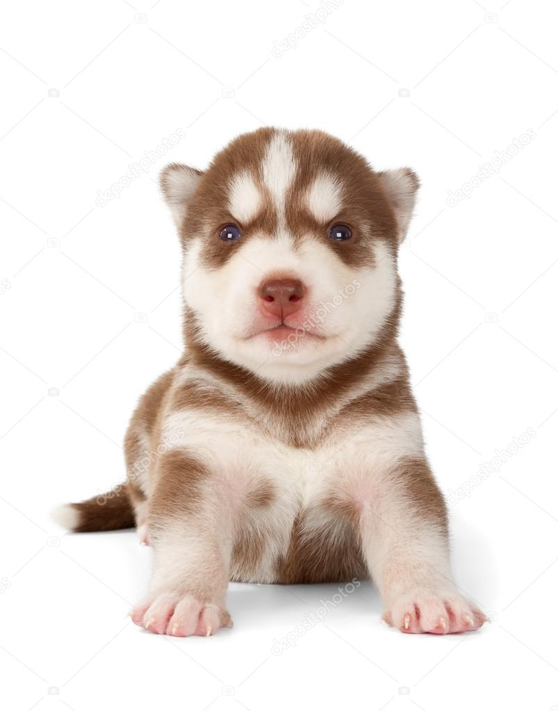 pictures baby huskies for