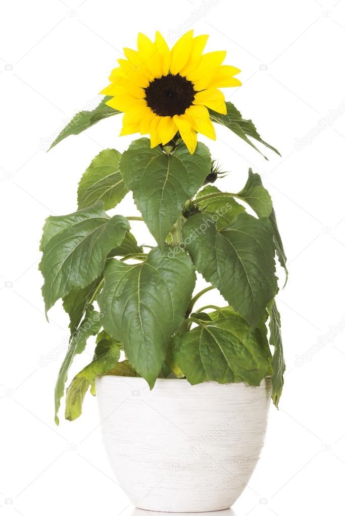 kleine Sonnenblume im Topf  Stockfoto  piotr_marcinski