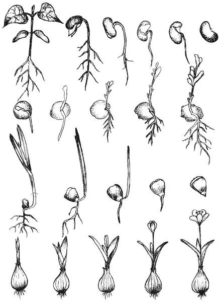 Plant growing vector illustration — Stock Vector © jelen80