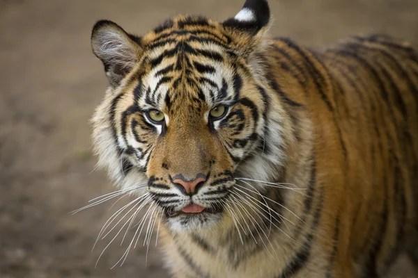 印支虎在動物園 — 圖庫照片©bouss56.gmail.com#95130572