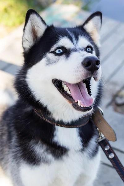 Perro husky siberiano blanco y negro con ojos azules